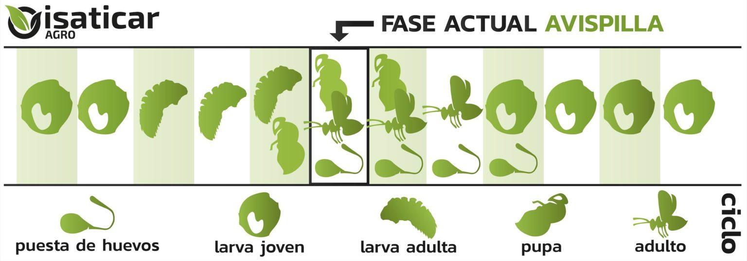 evolucion avispilla