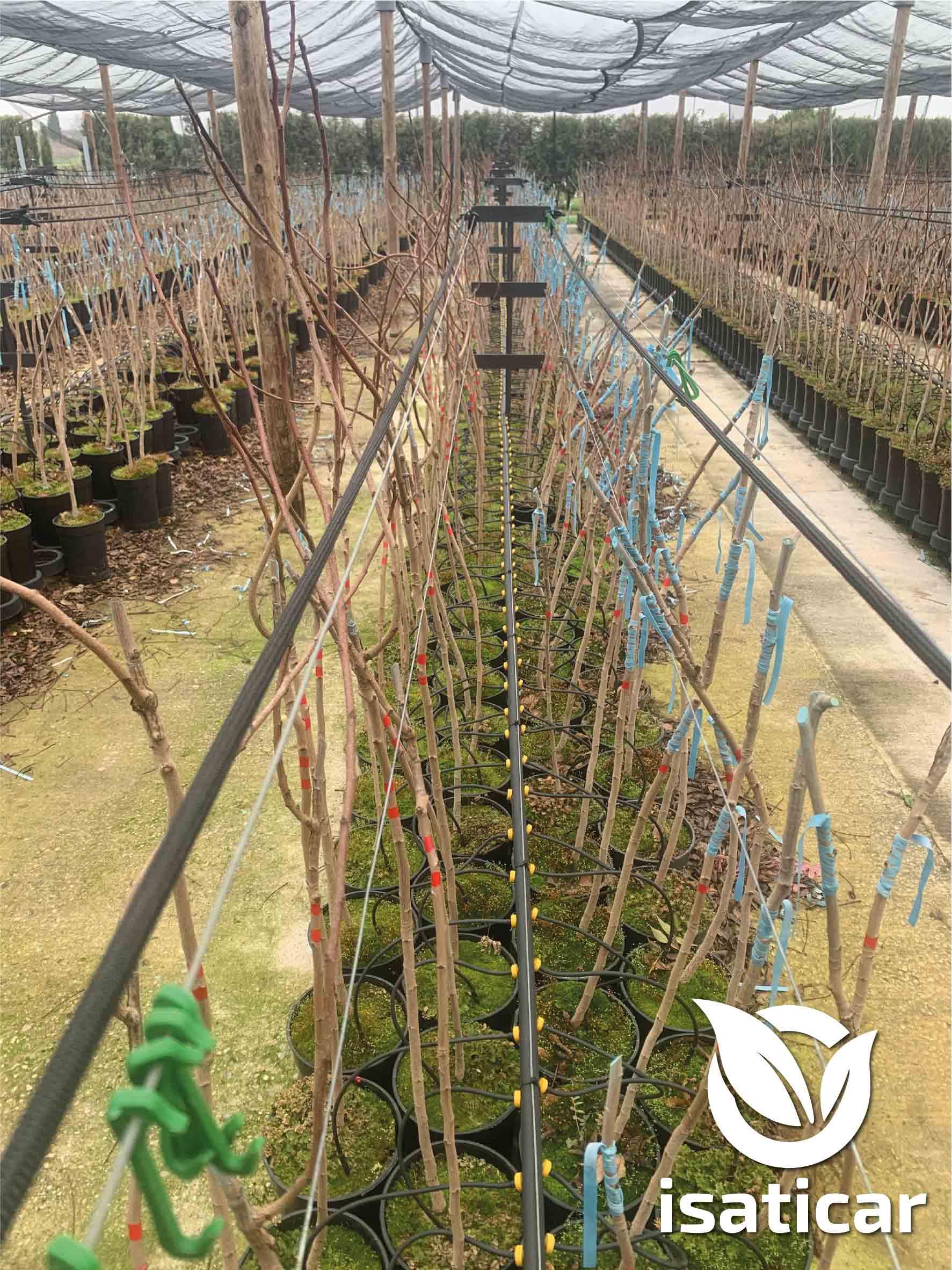 planta de pistacho injertada