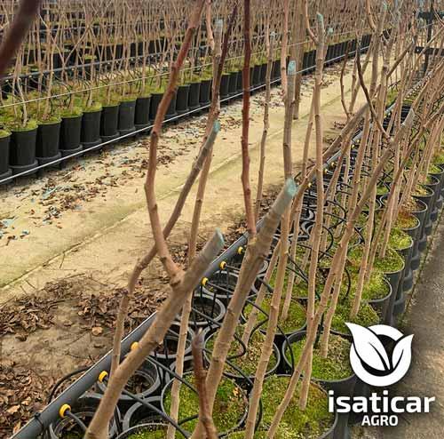 fotos-de-planta-pistacho-1