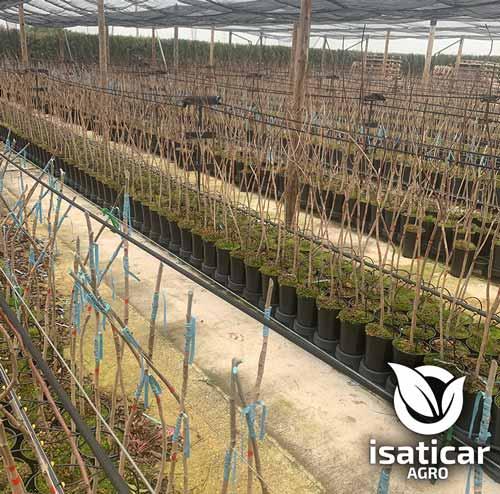fotos-de-planta-pistacho-2