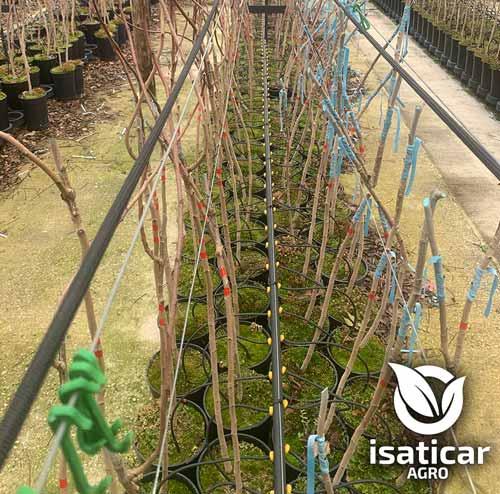 fotos-de-planta-pistacho-3