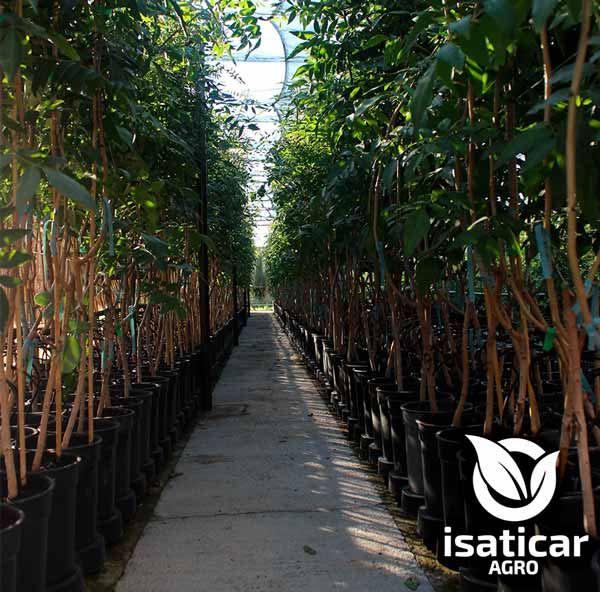 fotos-de-planta-pistacho-5
