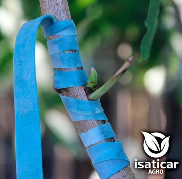 fotos-de-planta-pistacho-7