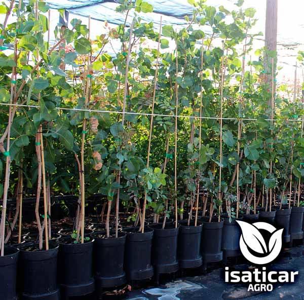 fotos-de-planta-pistacho-9